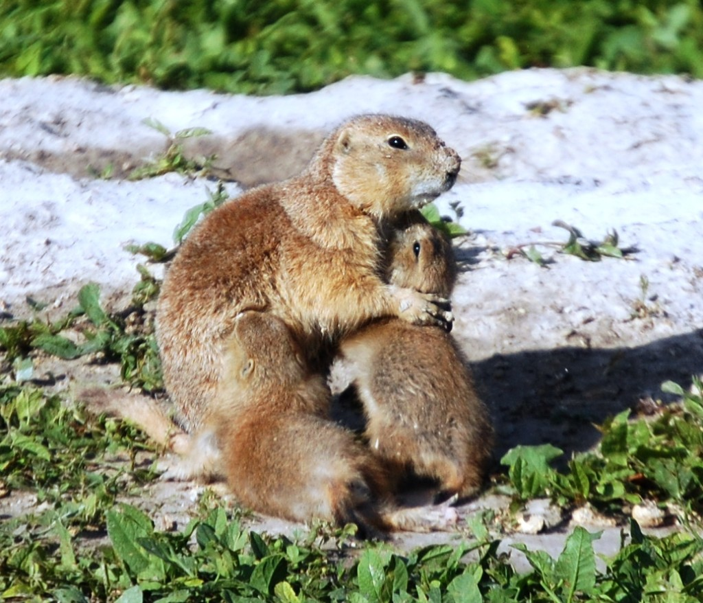 Prairie Dog Mama cuddling her kids at Cactus Flats, SD