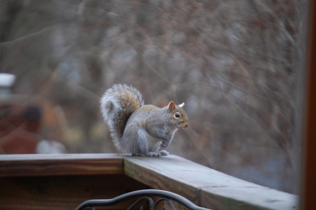 A squirrel perches on my back yard deck
