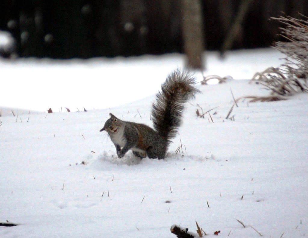 Squirrelly Snowball