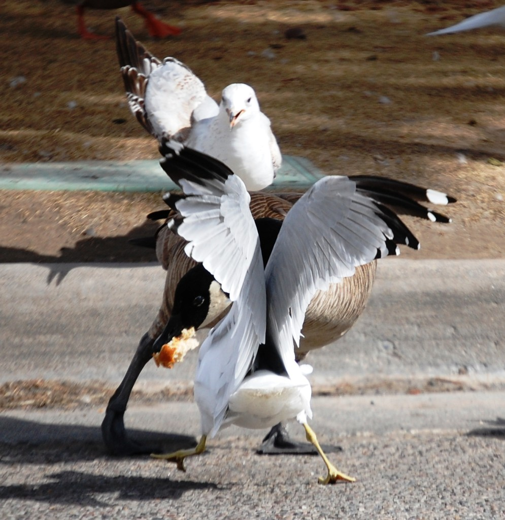 The Fight - Seagulls and a Goose fight over bread in Idaho Falls, Idaho