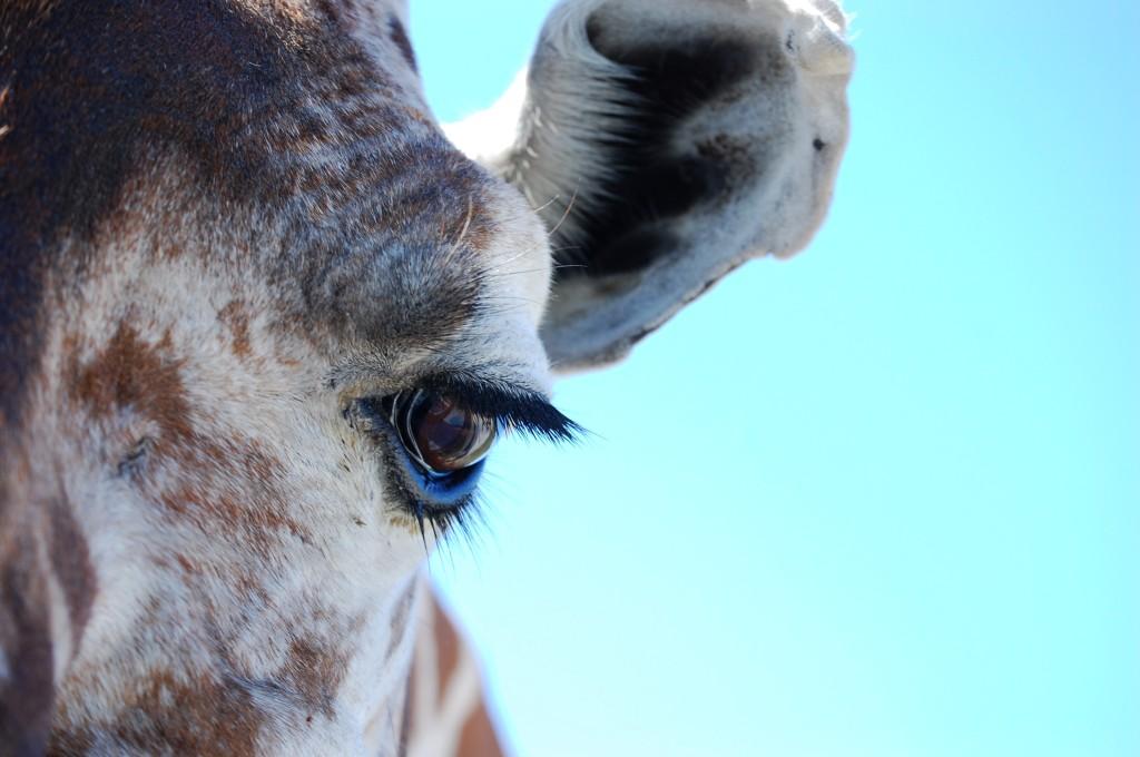 An upclose shot of a giraffe at Fossil Rim