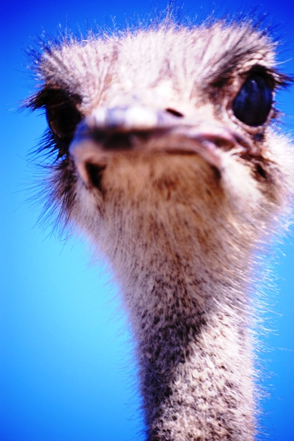 Angry Ostrich at Fossil Rim Animal Park in Glen Rose, TX
