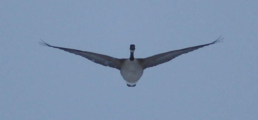 A solitary Canadian goose glides in the sky above my house in Feb. 2009