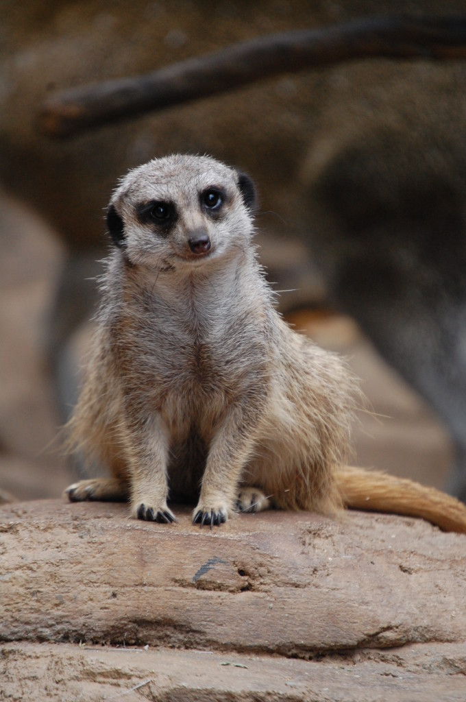 Meerkat at Henry Doorly Zoo in Omaha, Nebraska