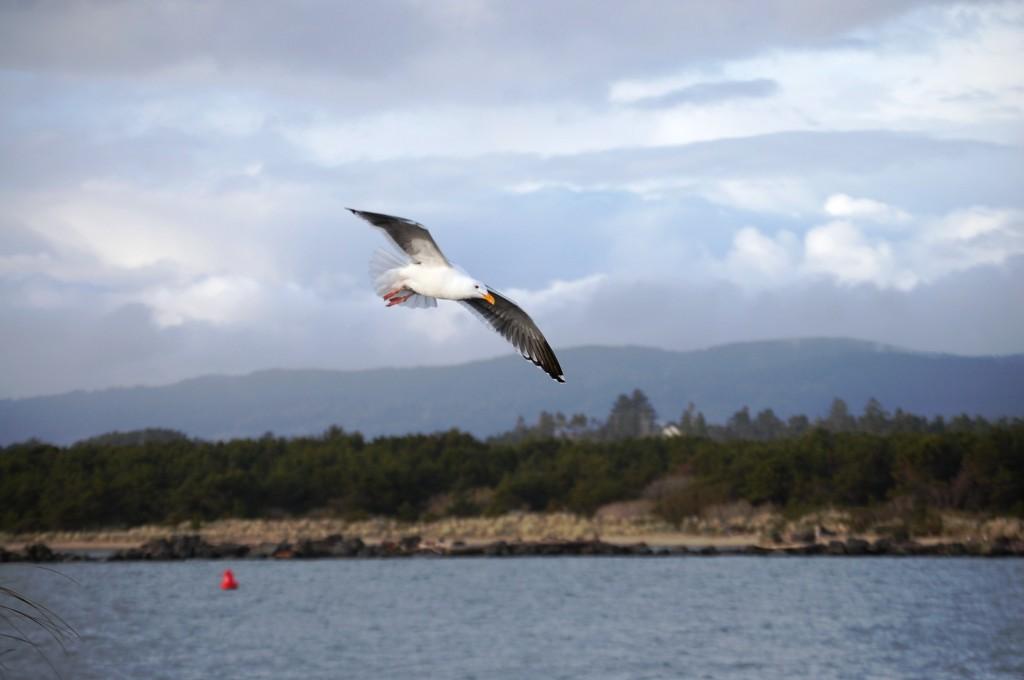 Seagull in flight over Oregon Dunes in Oregon